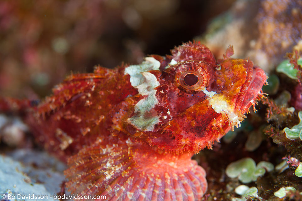 BD-141016-Komodo-5081-Scorpaenopsis-oxycephala-(Bleeker.-1849)-[Caledonian-devilfish].jpg